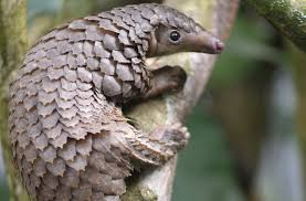 Secretive forest species such as giant ground pangolins and Congo peafowl revealed by camera traps in DR Congo