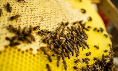 Honeybees are disappearing overnight: Theft and vandalism of bee boxes and honey are rife throughout SA