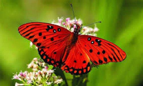 Rain in sub-Saharan Africa can mean more butterflies in Europe